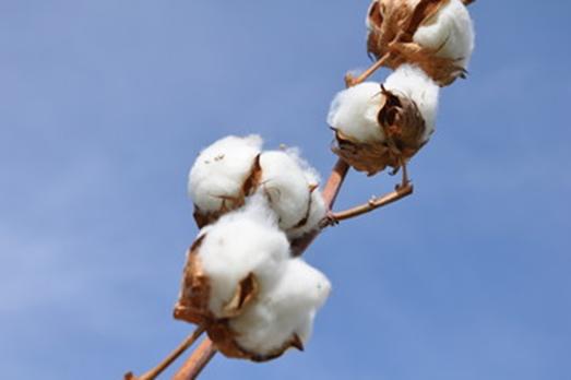 Culture de coton Bio - Sleepzen